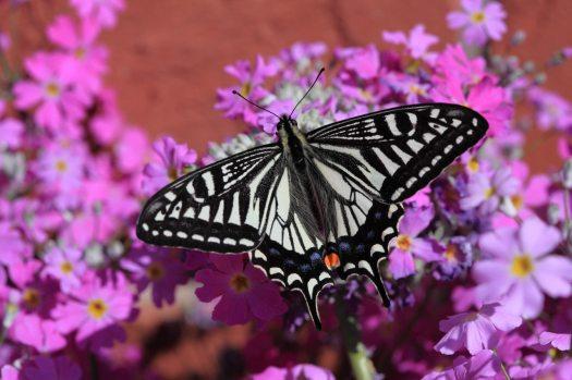 swallowtail-spring-pattern-wing-72283